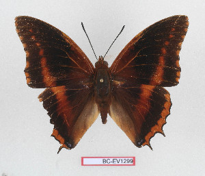 (Charaxes eudoxus raffaellae - BC-EV1299)  @11 [ ] Unspecified (default): All Rights Reserved  Unspecified Unspecified