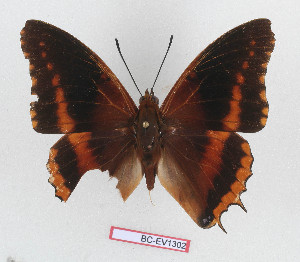 (Charaxes eudoxus raffaellae - BC-EV1302)  @11 [ ] Unspecified (default): All Rights Reserved  Unspecified Unspecified