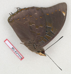 (Charaxes bohemani - BC-EV1319)  @12 [ ] Unspecified (default): All Rights Reserved  Unspecified Unspecified