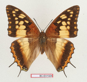 (Charaxes boueti - BC-EV1324)  @15 [ ] Unspecified (default): All Rights Reserved  Unspecified Unspecified