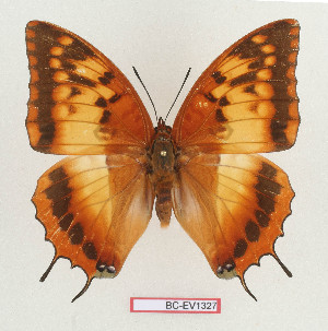(Charaxes lasti - BC-EV1327)  @14 [ ] Unspecified (default): All Rights Reserved  Unspecified Unspecified