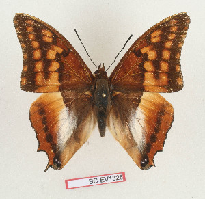 (Charaxes alticola - BC-EV1328)  @14 [ ] Unspecified (default): All Rights Reserved  Unspecified Unspecified