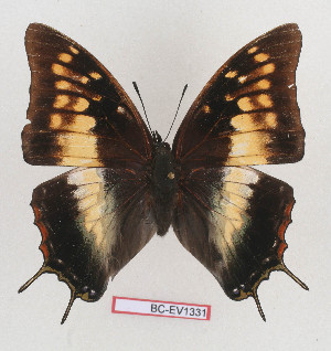 (Charaxes aubyni - BC-EV1331)  @15 [ ] Unspecified (default): All Rights Reserved  Unspecified Unspecified
