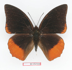 (Charaxes protoclea - BC-EV1359)  @14 [ ] Unspecified (default): All Rights Reserved  Unspecified Unspecified