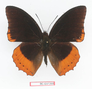 (Charaxes protoclea protoclea - BC-EV1360)  @14 [ ] Unspecified (default): All Rights Reserved  Unspecified Unspecified