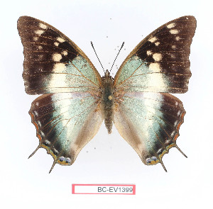 (Charaxes diversiforma - BC-EV1399)  @15 [ ] Unspecified (default): All Rights Reserved  Unspecified Unspecified