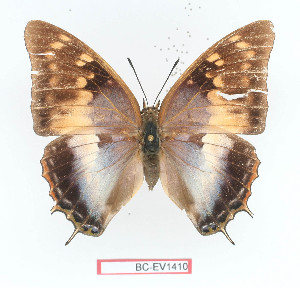 (Charaxes diversiforma - BC-EV1410)  @15 [ ] Unspecified (default): All Rights Reserved  Unspecified Unspecified