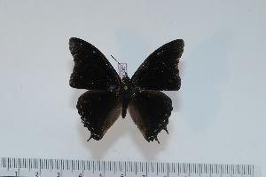 (Charaxes petersi - BC-Turl -0001)  @14 [ ] Unspecified (default): All Rights Reserved  Unspecified Unspecified