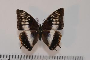 (Charaxes etheocles etheocles - BC-Turl -0004)  @13 [ ] Unspecified (default): All Rights Reserved  Unspecified Unspecified