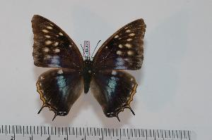 (Charaxes etheocles etheocles f.regalis - BC-Turl -0006)  @13 [ ] Unspecified (default): All Rights Reserved  Unspecified Unspecified