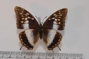(Charaxes etheocles ssp - BC-Turl -0007)  @13 [ ] Unspecified (default): All Rights Reserved  Unspecified Unspecified