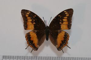 (Charaxes basquini - BC-Turl -0009)  @14 [ ] Unspecified (default): All Rights Reserved  Unspecified Unspecified