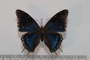 (Charaxes etheocles etheocles f.alladinis - BC-Turl -0010)  @13 [ ] Unspecified (default): All Rights Reserved  Unspecified Unspecified