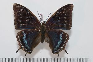(Charaxes etheocles carpenteri f.alladinis - BC-Turl -0011)  @14 [ ] Unspecified (default): All Rights Reserved  Unspecified Unspecified