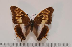 (Charaxes tessieri - BC-Turl -0015)  @14 [ ] Unspecified (default): All Rights Reserved  Unspecified Unspecified