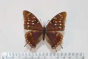 (Charaxes galleyanus - BC-Turl -0017)  @14 [ ] Unspecified (default): All Rights Reserved  Unspecified Unspecified