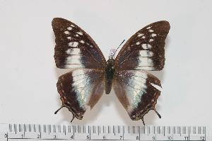 (Charaxes plantroui f.simonae - BC-Turl -0022)  @14 [ ] Unspecified (default): All Rights Reserved  Unspecified Unspecified