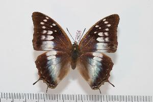 (Charaxes bocqueti bocqueti - BC-Turl -0024)  @15 [ ] Unspecified (default): All Rights Reserved  Unspecified Unspecified