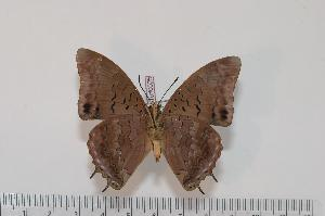 (Charaxes bocqueti ubangiensis - BC-Turl -0025)  @14 [ ] Unspecified (default): All Rights Reserved  Unspecified Unspecified