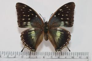 (Charaxes bocqueti ubangiensis - BC-Turl -0027)  @14 [ ] Unspecified (default): All Rights Reserved  Unspecified Unspecified
