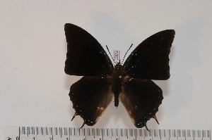 (Charaxes grahamei - BC-Turl -0029)  @14 [ ] Unspecified (default): All Rights Reserved  Unspecified Unspecified