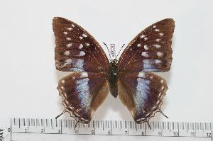 (Charaxes grahamei blue form - BC-Turl -0030)  @14 [ ] Unspecified (default): All Rights Reserved  Unspecified Unspecified