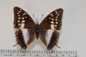 (Charaxes ghahamei f.lacteata - BC-Turl -0031)  @14 [ ] Unspecified (default): All Rights Reserved  Unspecified Unspecified