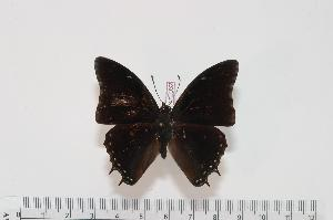 (Charaxes angelae - BC-Turl -0032)  @14 [ ] Unspecified (default): All Rights Reserved  Unspecified Unspecified