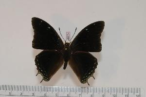 (Charaxes baileyi - BC-Turl -0034)  @14 [ ] Unspecified (default): All Rights Reserved  Unspecified Unspecified