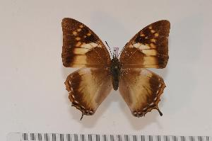 (Charaxes cedreatis f.inexpectata - BC-Turl -0040)  @14 [ ] Unspecified (default): All Rights Reserved  Unspecified Unspecified