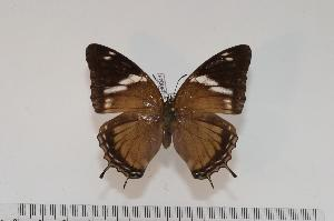 (Charaxes cedreatis f.protocedreatis - BC-Turl -0041)  @13 [ ] Unspecified (default): All Rights Reserved  Unspecified Unspecified
