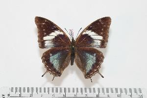 (Charaxes cedreatis f.vetula - BC-Turl -0043)  @13 [ ] Unspecified (default): All Rights Reserved  Unspecified Unspecified