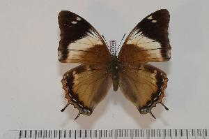 (Charaxes cedreatis f. thiryi - BC-Turl -0044)  @14 [ ] Unspecified (default): All Rights Reserved  Unspecified Unspecified