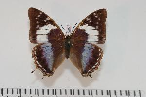 (Charaxes turlini f.turlini - BC-Turl -0048)  @14 [ ] Unspecified (default): All Rights Reserved  Unspecified Unspecified
