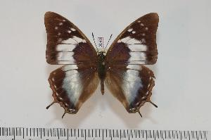 (Charaxes turlini f.giselae - BC-Turl -0049)  @15 [ ] Unspecified (default): All Rights Reserved  Unspecified Unspecified