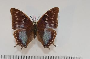 (Charaxes turlini f.adelinae - BC-Turl -0050)  @14 [ ] Unspecified (default): All Rights Reserved  Unspecified Unspecified