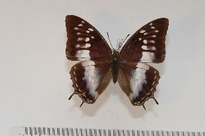 (Charaxes turlini f.isabellae - BC-Turl -0051)  @15 [ ] Unspecified (default): All Rights Reserved  Unspecified Unspecified