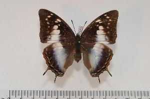 (Charaxes ethalion ethalion f.ethalion - BC-Turl -0053)  @14 [ ] Unspecified (default): All Rights Reserved  Unspecified Unspecified