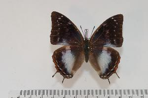(Charaxes ethalion ethalion f.suppressa - BC-Turl -0054)  @13 [ ] Unspecified (default): All Rights Reserved  Unspecified Unspecified