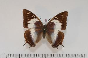 (Charaxes ethalion nyasicus f.giselae - BC-Turl -0056)  @14 [ ] Unspecified (default): All Rights Reserved  Unspecified Unspecified