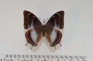(Charaxes ethalion handmani f.cithaeronoides - BC-Turl -0057)  @14 [ ] Unspecified (default): All Rights Reserved  Unspecified Unspecified
