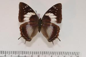 (Charaxes ethalion handmani f.rosae - BC-Turl -0058)  @14 [ ] Unspecified (default): All Rights Reserved  Unspecified Unspecified