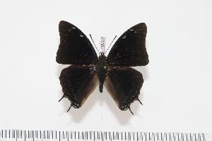 (Charaxes ethalion fisheri - BC-Turl -0059)  @13 [ ] Unspecified (default): All Rights Reserved  Unspecified Unspecified