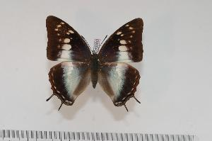 (Charaxes ethalion fisheri f.aurantimacula - BC-Turl -0060)  @15 [ ] Unspecified (default): All Rights Reserved  Unspecified Unspecified