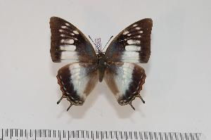 (Charaxes ethalion nyanzae f.ethalion - BC-Turl -0061)  @14 [ ] Unspecified (default): All Rights Reserved  Unspecified Unspecified