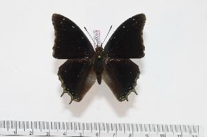 (Charaxes galawadiwosi - BC-Turl -0063)  @14 [ ] Unspecified (default): All Rights Reserved  Unspecified Unspecified
