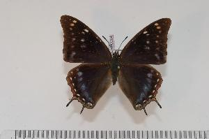 (Charaxes galawadiwosi f.galawadiwosi - BC-Turl -0064)  @13 [ ] Unspecified (default): All Rights Reserved  Unspecified Unspecified