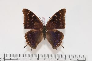 (Charaxes galawadiwosi f.katema - BC-Turl -0065)  @14 [ ] Unspecified (default): All Rights Reserved  Unspecified Unspecified