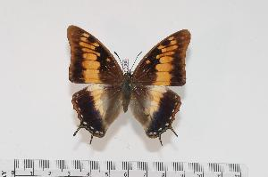 (Charaxes galawadiwosi f.carolinae - BC-Turl -0066)  @14 [ ] Unspecified (default): All Rights Reserved  Unspecified Unspecified