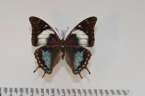 (Charaxes galawadiwosi f.genovefae - BC-Turl -0067)  @13 [ ] Unspecified (default): All Rights Reserved  Unspecified Unspecified